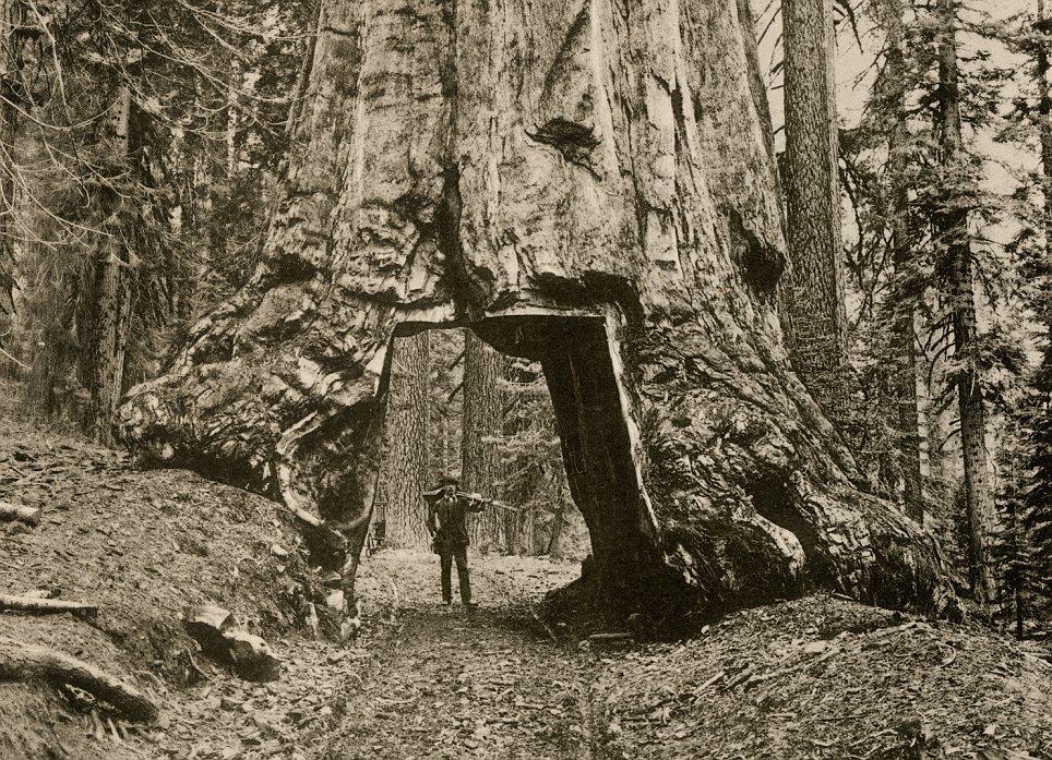 Sequoia in Mariposa Grove